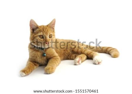Cute golden cat Golden eyes #1551570461