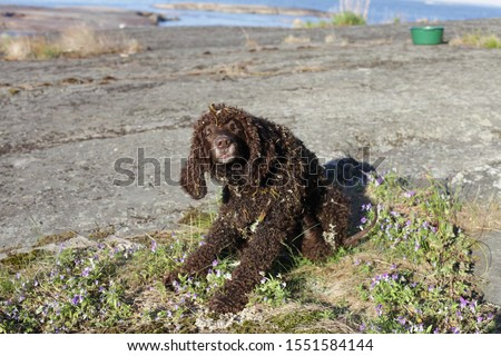 An Irish water spaniel in the country side #1551584144