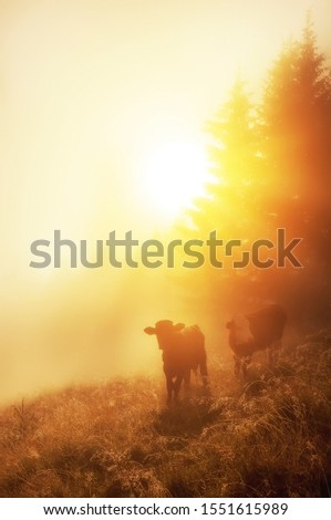 calves in the meadow in the early morning among the grass in sparkling dew and fog. Alpine meadows. #1551615989