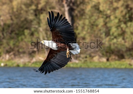 Fish eagle, Haliaeetus vocifer, catching a fish from the surface of Lake Naivasha, Kenya. These skilled predators will snatch fish from the water with their strong and sharp talons. #1551768854
