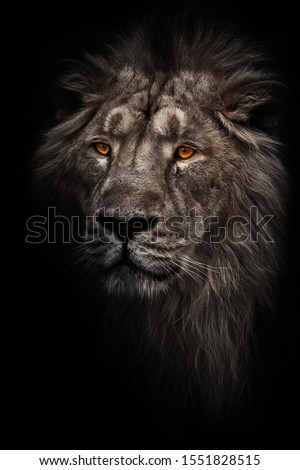 Contrast photo of a maned (mane, hair) powerful male lion in night darkness with bright orange eyes, isolated on a black background #1551828515