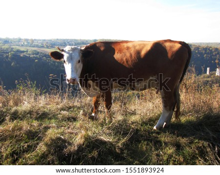Cow on a pasture in autumn #1551893924