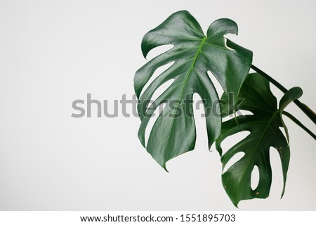 Monstera in a modern interior, the concept of minimalism and scandy style. A beautiful combination of colors: green and white. Details of a modern interior. Interior Design #1551895703