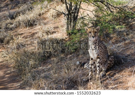 African animals: Сheetah in conservation area in Namibia #1552032623