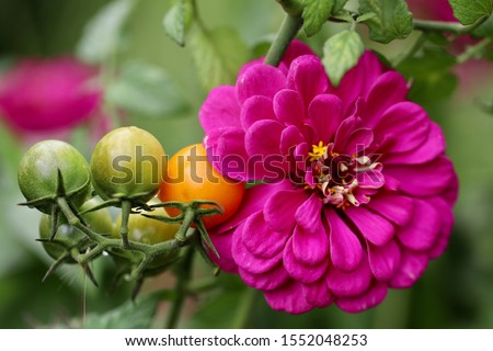 Companion planting of amethyst zinnia with sun gold cherry tomatoes are a perfect combination. Zinnias deter cucumber beetles and tomato worms. They attract predatory wasps and hover flies. Royalty-Free Stock Photo #1552048253