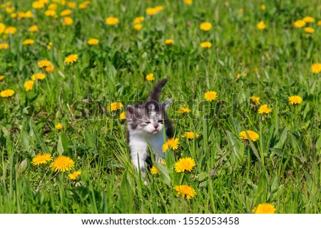 Small kitten in yellow dandelion flowers. Young cat on green meadow #1552053458