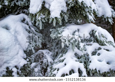 Close-up of thick snowy fir branches growing in the forest on a winter cloudy day. The concept of evergreens of pristine nature and winter tourism #1552138136