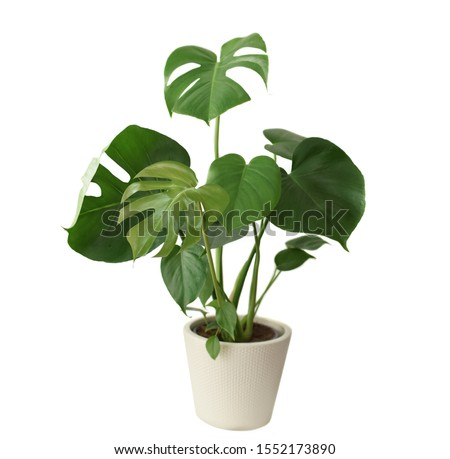Decorative fresh Monstera deliciosa tree planted in a white ceramic pot isolated on white background. Fresh Swiss Cheese Plant with large glossy green leaves.  Royalty-Free Stock Photo #1552173890