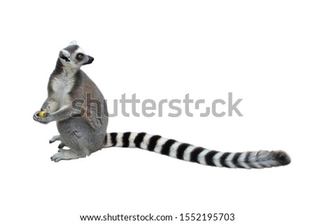 Ring-tailed lemur (Lemur catta) sitting on ground, holding a piece of fruit and looking over its long beautiful tail. Animal isolated on white background. Habitat Madagascar, Africa.