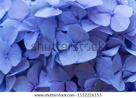 Blue Hydrangea background. Hortensia flowers surface. #1552226153
