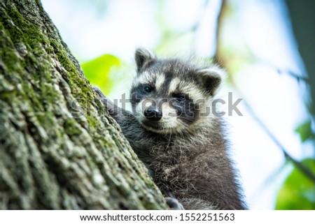 Baby raccoon climbing tree, cute