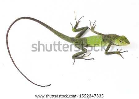 Bronchocela jubata, commonly known as the maned forest lizard, is a species of agamid lizard found mainly in Indonesia isolated on white background #1552347335