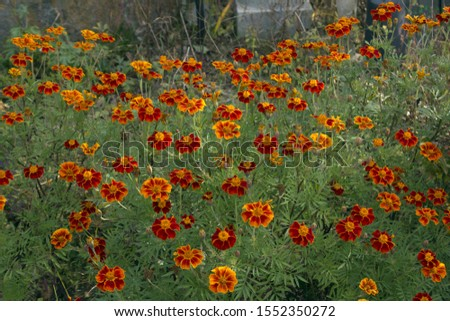 Red marigold flowers in fall seasonal. #1552350272