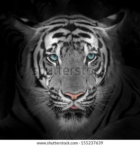 Close up White tiger face, isolated on black background. #155237639