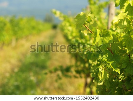 Green grapes on a vineseasonal food concept. Vineyards at sunset in autumn harvest. Ripe grapes in fall. Grape harvest. Blue grapes in a vineyard at sunrise with leaf . #1552402430