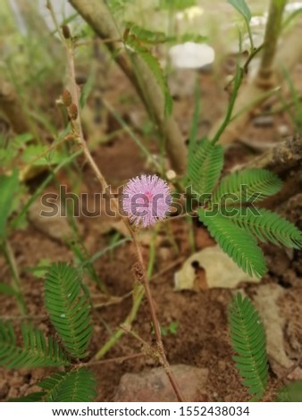 "The flowers of Mimosa pudica, the ""touch me not"" plant are pretty powder puff pink color. The leaves blush when somebody touches them, delighting people with their instant reactions of extreme shy!  #1552438034"