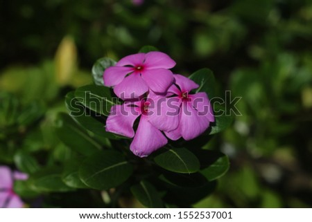 rose periwinkle,Catharanthus roseus, commonly known as bright eyes, Cape periwinkle, graveyard plant, Madagascar periwinkle, old maid, pink periwinkle, rose periwinkle #1552537001
