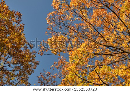 Autumnal background with the colorful tree tops of maple and oak trees against the bright blue sky on a beautiful sunny autumn day in October in Germany #1552553720