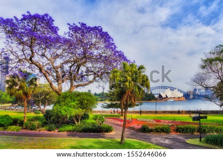Sydney garden and city park on shores of Harbour in spring season when Jacaranda trees blossom with violet flowers in front of major city landmarks on a sunny day. #1552646066