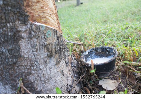 Rubber trees and rubber production from rubber trees and latex receiving cycle #1552765244