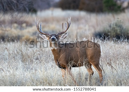 Whaite-tailed Deer Buck. Wildlife of Colorado. Wild Deer in Their Natural Environment in Colorado. #1552788041