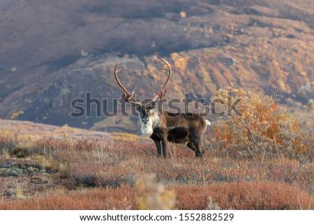 Barren Ground Caribou Bull in Autumn in Alaska Royalty-Free Stock Photo #1552882529