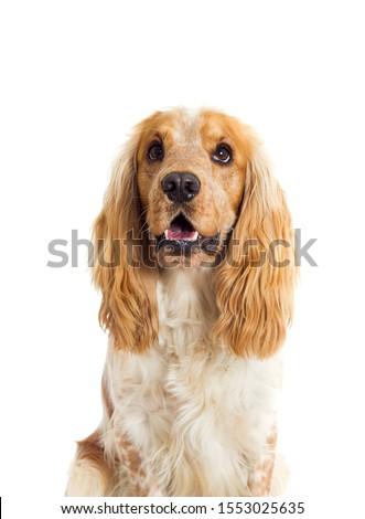 English Spaniel dog on a white background #1553025635