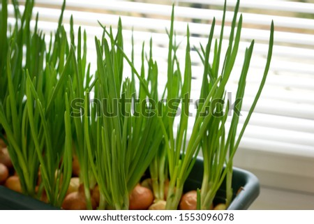 a garden of young onion on a window sill.Growing onions on the windowsill. Fresh green onions at home Indoor gardening growing spring onions in flower pot on window sill. Fresh sprouts of green onion  #1553096078