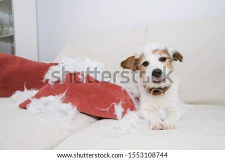 guilty dog mischief. funny jack russell alone at home after bite and destroy a pillow. separation anxiety concept. Royalty-Free Stock Photo #1553108744