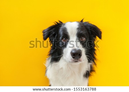 Funny studio portrait of cute smilling puppy dog border collie isolated on yellow background. New lovely member of family little dog gazing and waiting for reward. Pet care and animals concept #1553163788