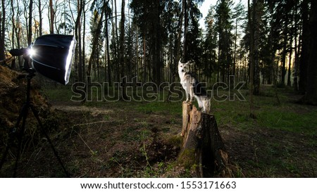 Side view of elegant shepherd dog posing on stump during photo session on summer forest meadow at sunset time with spotlight