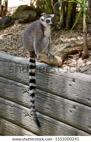 the ring tailed lemur is sitting on a wall showing his long striped tail #1553200241