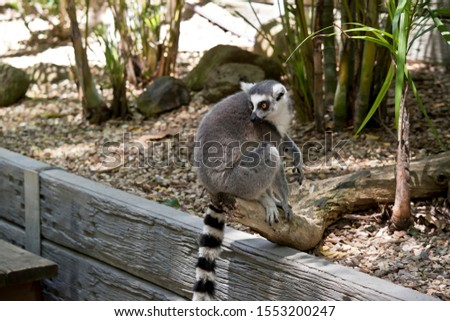 the ring tailed lemur is sitting on a wall showing his long striped tail #1553200247