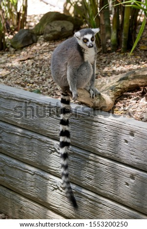 the ring tailed lemur is sitting on a wall showing his long striped tail #1553200250