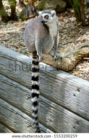 the ring tailed lemur is sitting on a wall showing his long striped tail #1553200259