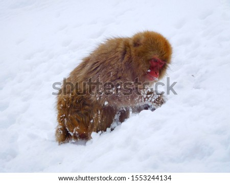 Monkey in Winter Digging Snow Searching #1553244134