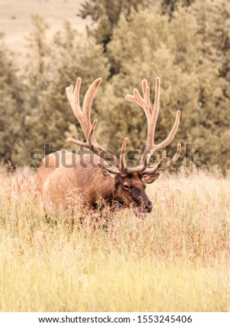 This photo is taken of a bull elk at the National Bison Range. It is rare to see a bull of his size anywhere so I had to get a photo of him.