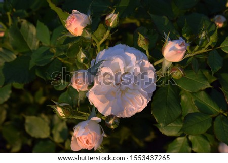 """roses white-yellow """"Pastella"""" as background. Roses in warm sunlight and dew with sunlight in the morning #1553437265"""