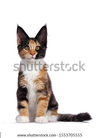 Remarkable patterned tortie Maine Coon cat kitten sitting facing front. Looking straight at camera with golden orange eyes. Isolated on white background.