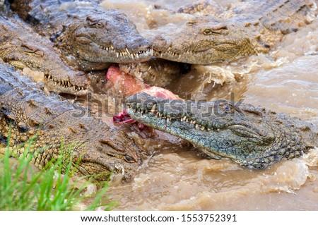 a group of Nile Crocodiles feeding frenzy at food time killing #1553752391