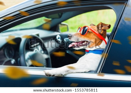 dog leaning out the car window with funny sunglasses in  windy autumn fall with leaves flying around #1553785811