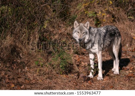 Gray wolf (timber wolf) standing in a clearing with Fall leaves on the ground. #1553963477