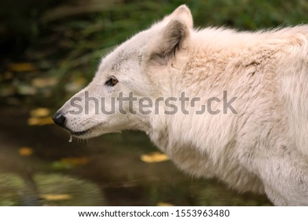 Close-up of a gray wolf (timber wolf) with white fur, with water dripping from its muzzle. #1553963480