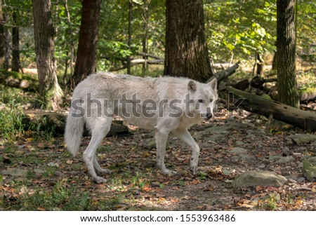 Gray wolf (timber wolf) with white fur walking through a clearing in the woods with Fall leaves on the ground. #1553963486