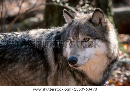 Close up of a gray wolf (timber wolf) with fall color in the background. #1553963498