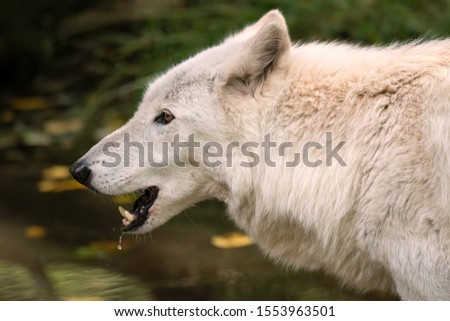 Close-up of a gray wolf (timber wolf) with white fur with its mouth open showing its teeth, with water dripping from its muzzle. #1553963501