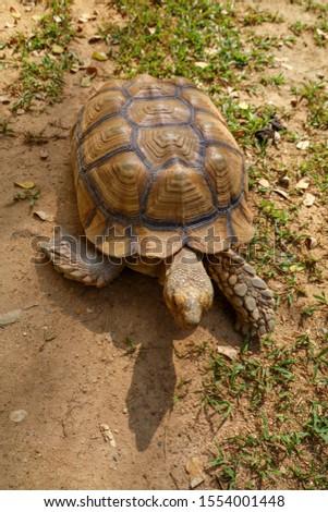 Sulcata tortoise skin for animal skin #1554001448