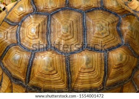 Close up Sulcata tortoise skin for animal skin #1554001472