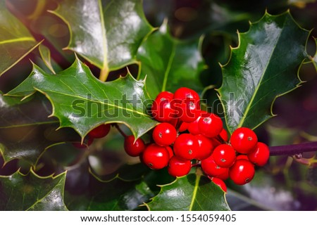 Christmas Holly red berries, Ilex aquifolium plant. Holly green foliage with mature red berries. Ilex aquifolium or Christmas holly. Green leaves and red berry Christmas holly, close up card #1554059405