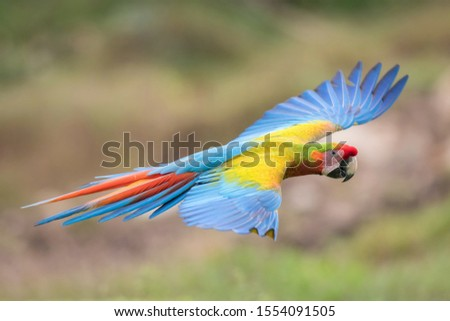 Ara Macao, Scarlet macaw The hybrit parrot is flying in nice natural environment of Costa Rica  #1554091505